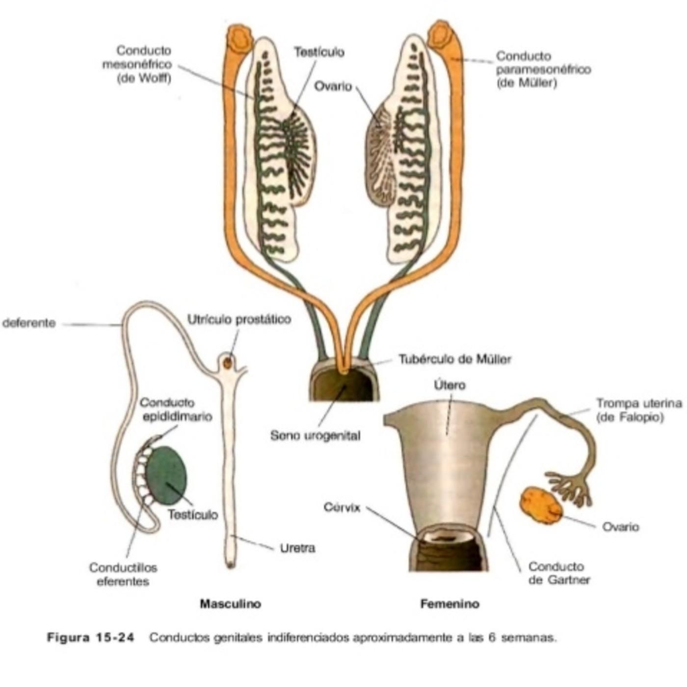 Sistema Genital Y Conductos Genitales en Embriología Sistema Genital ...