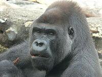 La Voz de la Noche - Meditación del animal: Gorila - 9 mayo 2015