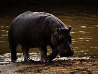 La Voz de la Noche - Meditación del animal: El hipopótamo - 23 mayo 2015