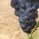 Últimos preparativos de la vendimia en Ribera de Duero