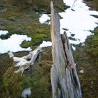 Las antiguas troncas y los modernos pinares de los bosques del Sistema Central (81)