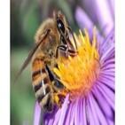 131028 Ciencia para todos - Las abejas y nuestra dependencia