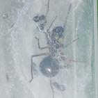 La Brújula de la Ciencia s08e15: Una araña que produce leche para sus crías
