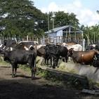 Ganaderos de Madruga reportan sobrecumplimiento en la entrega de leche y carne