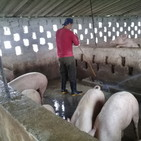 Recuperación porcina
