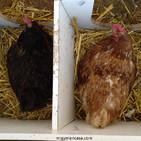 252. ¿Qué tipo de huevos son los más sanos? (Saga de los huevos: parte V)