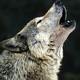RADIO LOBO N8 :Bailando con lobos 2