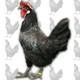 La gallina castellana negra