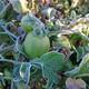 Las últimas heladas afectan a los productores de la zona de los valles