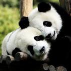 Los osos pandas en Cosas de la Ciencia