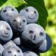La Fruta Acristalada
