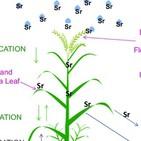 Fascinacion por las Plantas - 161- Estroncio e Itrio