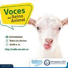Voces del Reino Animal- Ovinos