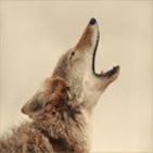 La Sonrisa del Coyote